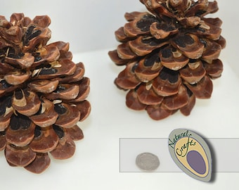 10 large natural Pinus Pine cones
