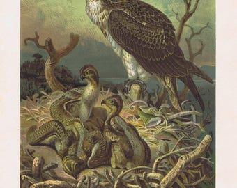 antique print fish eagle osprey 1893