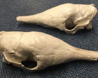 Armadillo skull replica