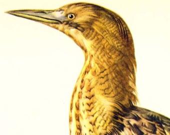 Bitterstoff Heron Botaurus Stellaris Marsh Vogel europäischen Ornithologie Naturgeschichte Lithographie Druck der 1960er Jahre Illustration zu Rahmen 68