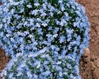 Lobelia- Blue Splash-  100 Seeds