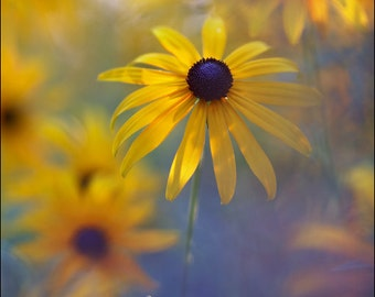 Black Eyed Susan - Rudbeckia - Color Photo Print - Fine Art Nature Photography (RB01)