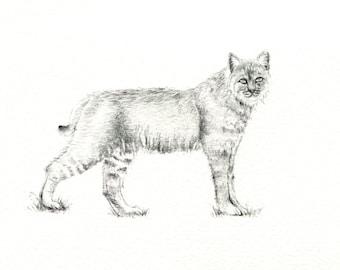"""Bobcat art print of an original drawing available 5x7"""" or 8x10"""""""
