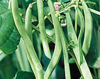 Kentucky Blue Pole Bean Seeds Stringless Non-GMO Naturally Grown Open Pollinated Gardening