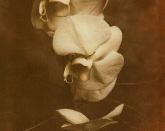 Antique Orchid Photograph