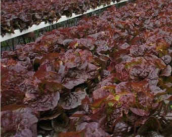Marshall Dark Red Romaine Lettuce, rare  40+ seeds.