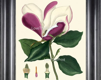 BOTANICAL PRINT ANDREWS 8x10 Botanical Art Print 14 Antique White Pink Magnolia Purpurea Purple Violet Large Blooming Flower to Frame