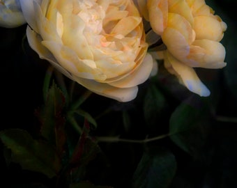 Roses at Kensington Palace Gardens, Wall Art, Photograph, Gifts for mom