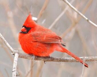 Male Cardinal in Winter