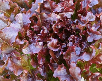 Red Salad Bowl Lettuce Heirloom Seeds - Non-GMO, Open Pollinated, Untreated