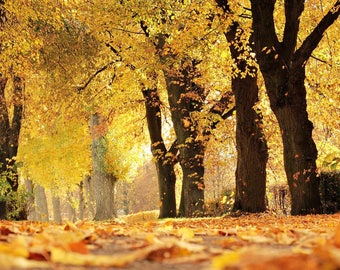 Fall Yellow Trees  Forest Photograph Print