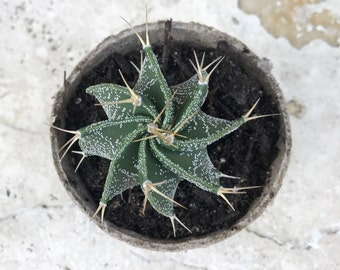"mini ""heartsnatcher"" cactus in a peat pot"