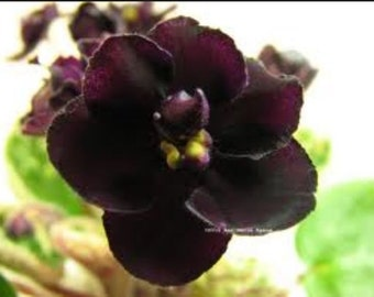 African violet - Dark night of the soul
