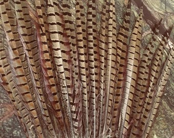 "Ringneck pheasant tail feathers 22/24"" Long per 10"