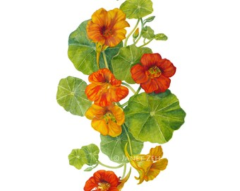 Nasturtiums Botanical Print Watercolor Flower Wall Art by Janet Zeh Original Art