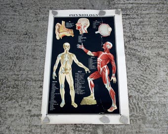 Very Large Mid Century Physiology Biology Anatomy Scientific Poster