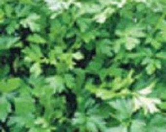 Herb Plant, Italian Flat Leaved Parsley, Organic