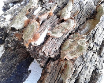Dried Tree Fungus on Bark, Two Large Pieces