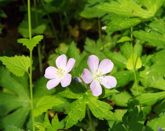 Wild Geranium flowers photo download