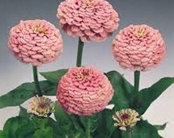 Zinnia- Luminous Pink- 100 Seeds