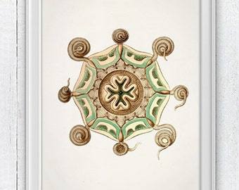 Jellyfish 06 - Wall decor poster , sea life print -Haeckel sea life illustration SAS124