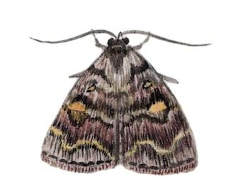 Common Idia Moth