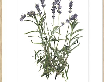 Lavender Botanical Watercolour Giclee Print. Signed and mounted, frame not included.