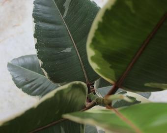 Ficus elastica tricolor 'Rubber plant'
