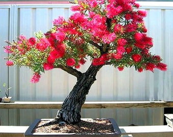 300 seeds CRIMSON BOTTLEBRUSH tree - Callistemon citrinus - bonsai seeds