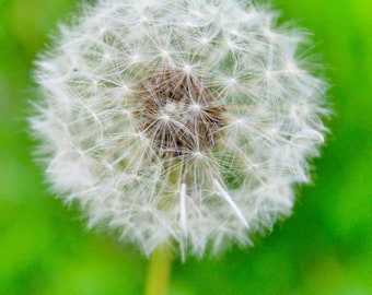 Close Up Photograph of Dandelion Puff