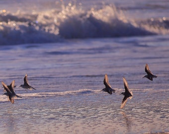 """Plovers """"In_Flight"""". Nature photography print. SKU#IMG_11"""