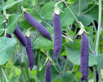 Blue Podded Blauwschokkers Heirloom Snow-Pea - Soup Pea Seeds Naturally Grown Open Pollinated Gardening