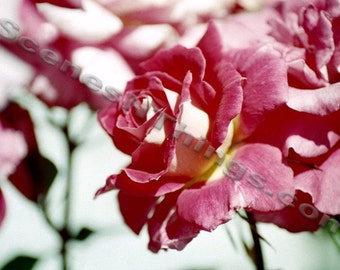 Rose Photo, Color Photo
