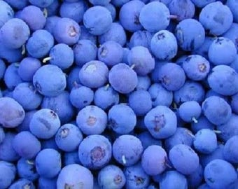 50 Northern HIGHBUSH BLUEBERRY BUSH Fruit Seeds Pre Stratified