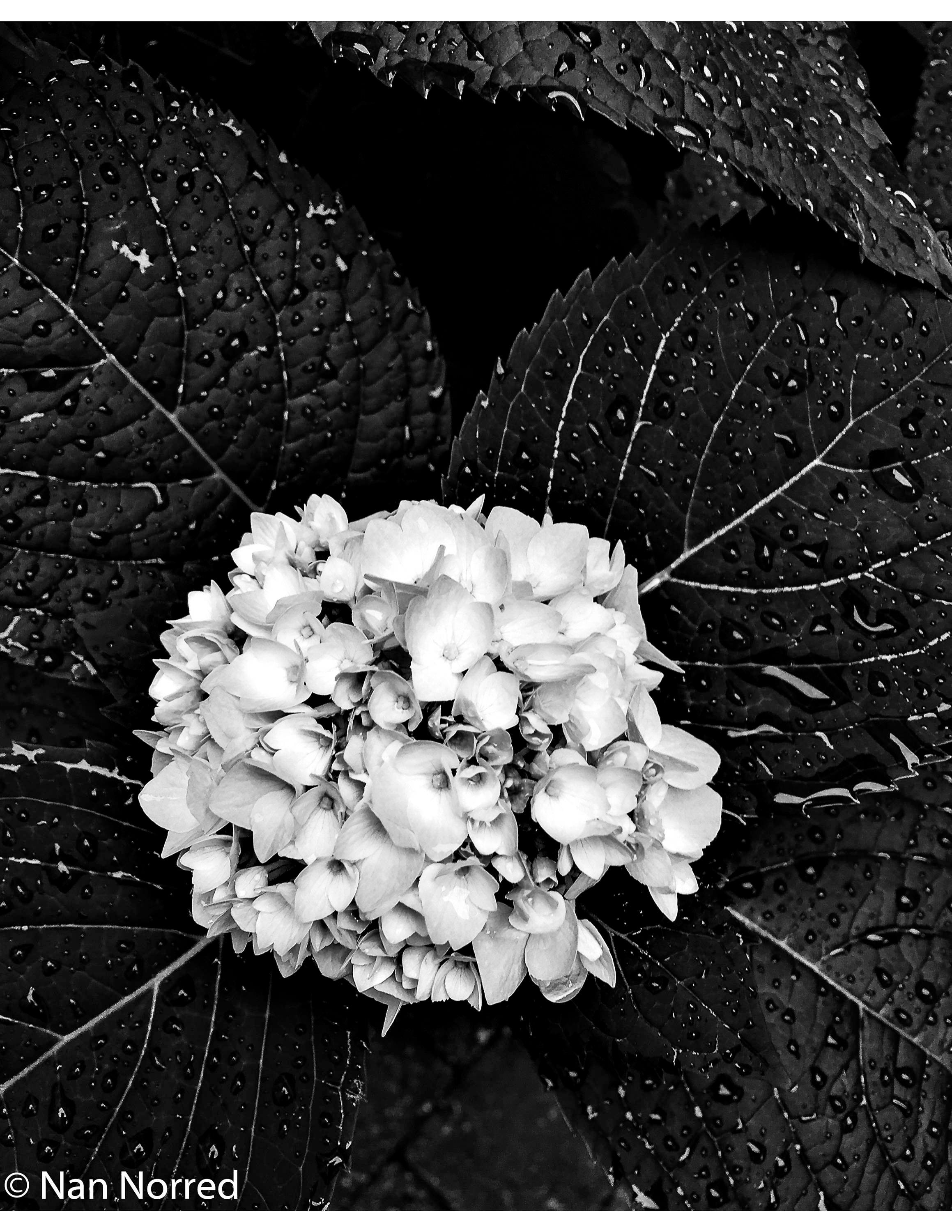 Digital Art Printable Art Black And White Hydrangea Black And