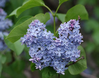 TreesAgain Potted Lilac Tree in 8 inch pot - Syringa vulgaris - 8 to 12+ inches