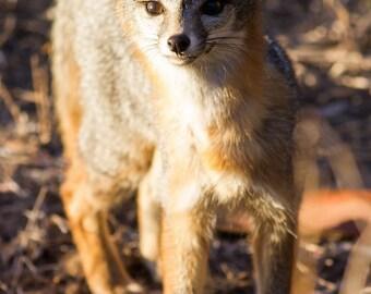 San Diego Gray Fox - 12x18 16x24 20x30 24x36 Metal Print - Nature Photography - Modern Art Wall Art - Fox -