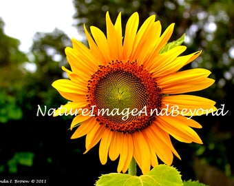 Sunflower, Photography, Repurposed Wood, Color Photograph, Home Decor, Wall Art Print, Modern Home Decor, Wood Craft, Wall Decor, Photo Gift