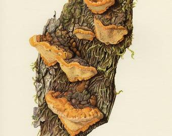 Vintage lithograph of bracket fungus from 1962