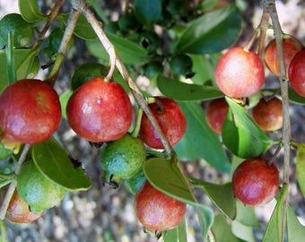 Strawberry Guava Red Psidium cattleianum - 3 Feet Tall - Ship in 3 Gal Pot