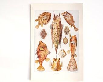 Vintage / Antique Trunk Fish Book Plate Engraving (c.1900s) - Collectible, Home Decor, Ocean Art