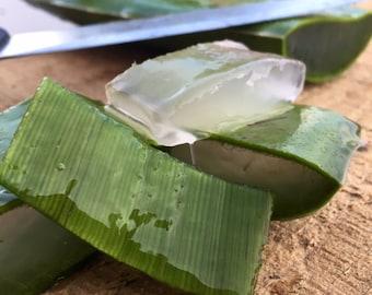 1 Organic Aloe Vera Leaf