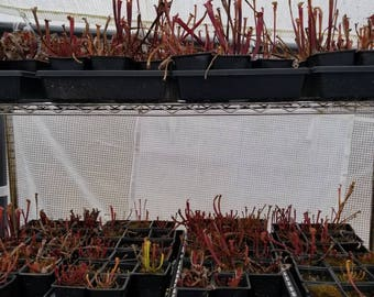 Small seed grown mixed Sarracenia Pitcher plants