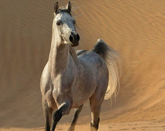 Desert Stallion Runs Free - Fine Art Horse Photograph - Horse - Arabian - Fine Art Prints