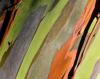 "Tree Print, Rainbow Eucalyptus Tree, Hawaiian Art, Tree Bark, Hawaii Photography, Abstract Tree, Oahu, Green, Orange, Wall Decor - ""Palette"""