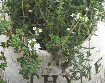 Heirloom Thyme Seeds, Thymus vulgaris, English Thyme Seed, Heirloom Herb Garden, Great for Container Gardens and Kitchen Gardens