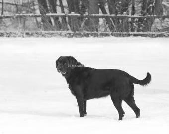 Black Labrador in the Winter Snow!