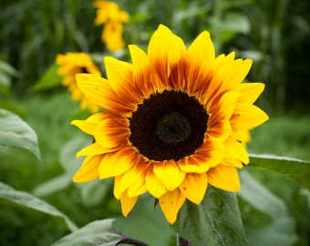 Sunflower Photo / Sunflower / Sunflower Lover / Flower Photography