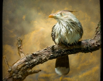 Guira Cuckoo, Exotic Bird, Dreamy Color Photography Print, Stormy, Nature, Animals, aviary, Wall Decor, Fine Art Photography, Free Shipping