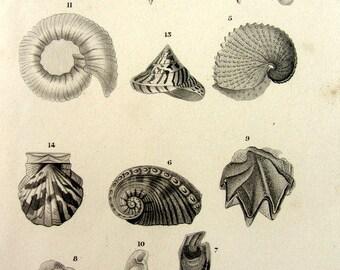 1852 Georgeos vintage molluscs engraving, old original sea shell print, mollusk plate illustration, squid limpet volute nautilo clam.